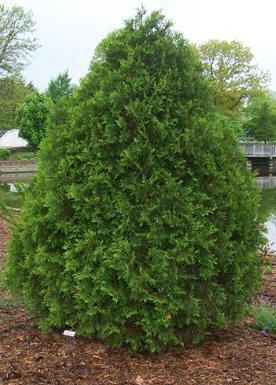 Arborvitae  Gammons Garden Center  Landscape Nursery