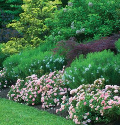 trailing roses gammon's garden