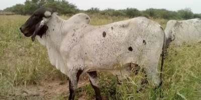 enfermedades en ganado bovino