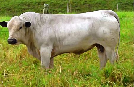 Teorías sobre el origen del ganado BON