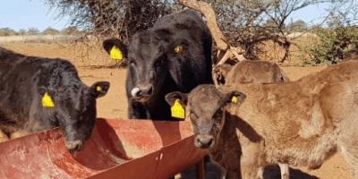 características del ganado wagyu