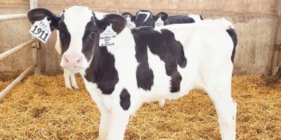 uso de genetica para mejorar la produccion de leche en ganado bovino