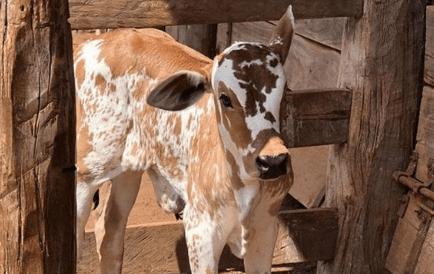 Control de gusanos en ganado de carne