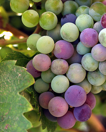 English: Wine grapes from the Guadalupe Valley...