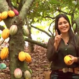 Portaria da Cabruca beneficia mais de 20 mil produtores de cacau do Sul da Bahia