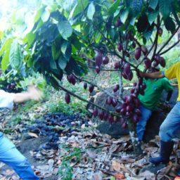 Cacauicultura projeta Gandu entre os maiores produtores na Bahia