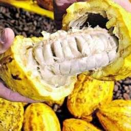 No sul da Bahia, a indicação geográfica valoriza o cacau