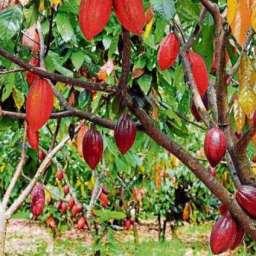 Ceplac testa técnica de poda e tutoramento que aumenta número de plantas por hectare