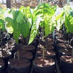 Produtor é incentivado ao cultivo de cacau clonal