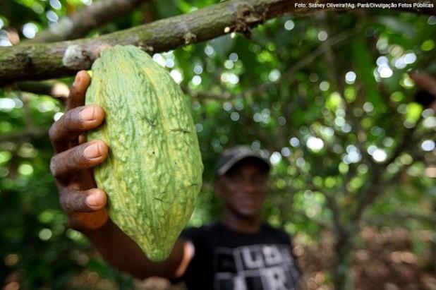 Produ%C3%A7%C3%A3o-agroflorestal-de-cacau-rende-mais-que-gado-na-Amaz%C3%B4nia Produção agroflorestal de cacau rende mais que gado na Amazônia