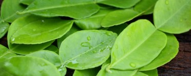 kaffir_lime_leaves