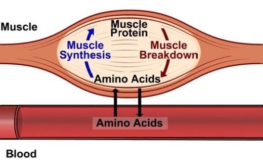 BCAAs-sintese-proteica