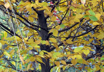 trees_dec_beech
