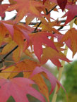 trees_dec_liquidambar