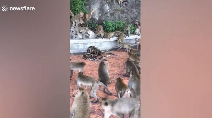 タイのサル園で野生のデカいニシキヘビがサルを絞め殺す。