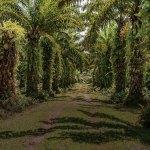 Fakta! Perkebunan Sawit Bukan Komoditi Monokultur Terluas Di Dunia