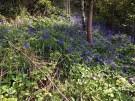Abberley Hill - Bluebells