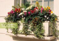 GAP Gardens - Autumn Winter window box of Euonymus ...