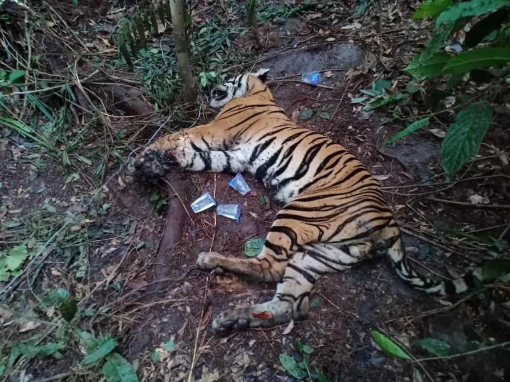harimau mati kena jerat di pt arara abadi
