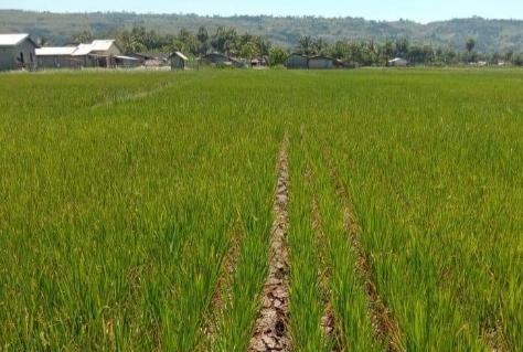 Pasca-Bencana Banjir di Malaka, Ribuan Hektar Lahan Pertanian Rusak