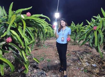 Cahaya Listrik di Kebun Buah Naga, Atensi dan Peduli PLN bagi Petani TTU