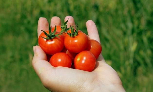 Tomaten im Garten – Pflege, vermehren und mehr