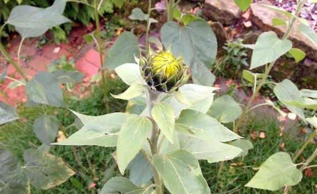 Sonnenblume geschlossen