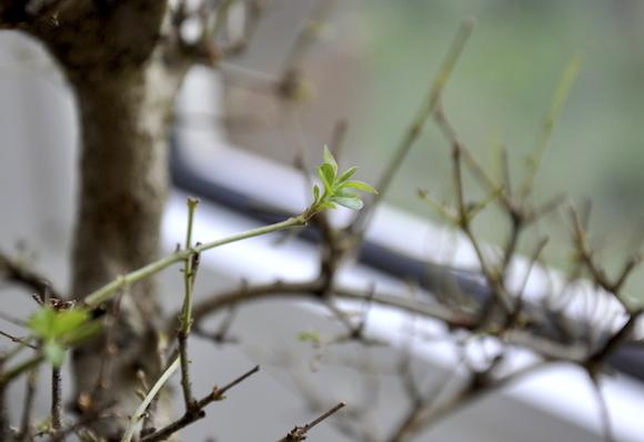 Liguster-Bonsai waechst