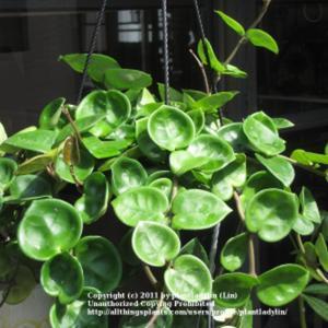 Wax Plant Hoya Carnosa Chelsea In The Hoyas Database