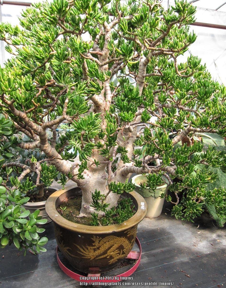 Photo of the entire plant of Gollum Jade Crassula ovata