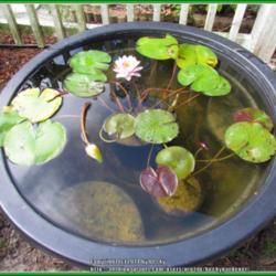 Container Water Gardening Garden Org
