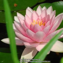 Lotus In Water Plant Diagram Toyota Corolla Wiring Stereo Parts Of Lily Flowers Great Installation A Flower Pictures To Pin On Pinterest Calla Iris