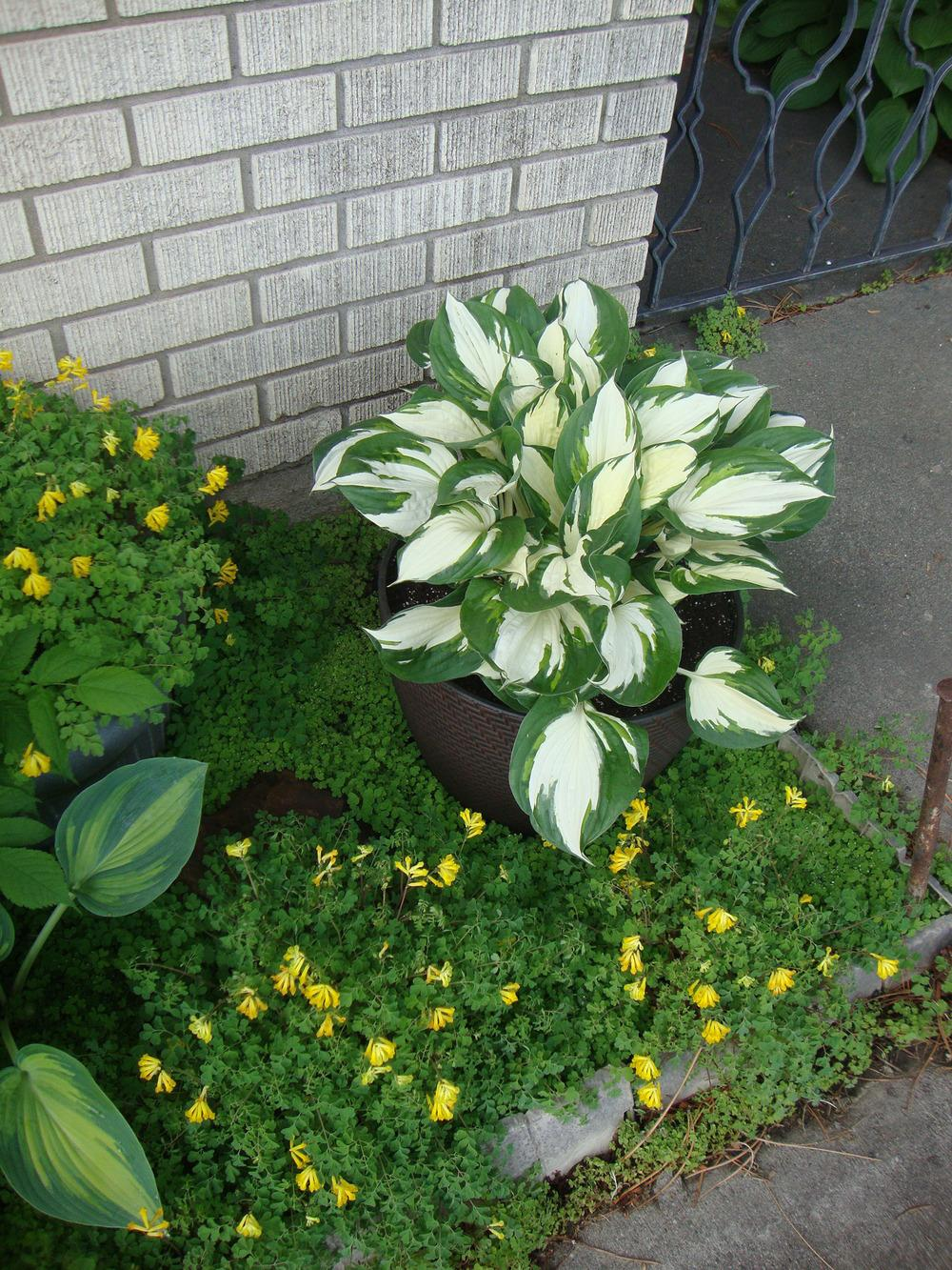 Hostas Are Wonderful in Containers  Gardenorg