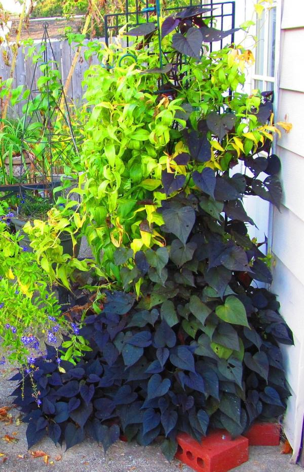 Purple Sweet Potato Vine Plant