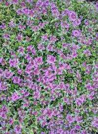Creeping Thyme Thymus Serpyllum Magic Carpet - Carpet ...