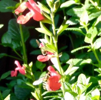 red fire sage with bees
