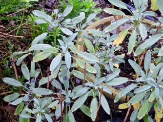 culinary sage (officianalis) in pot