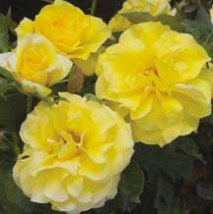 Floribunda (photo credit: edmundsroses.com