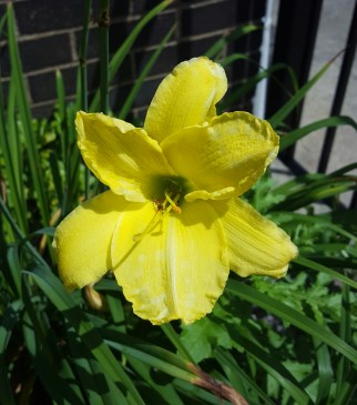 Elaine's Lemon Yellow