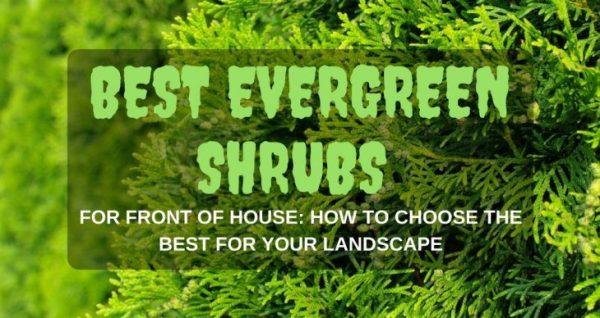 evergreen shrubs front