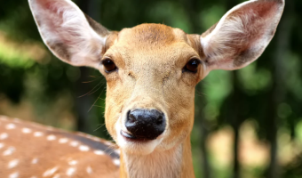 deer, doe, backyard deer, keep deer out of garden, deer-resistant garden, deer-repellent garden