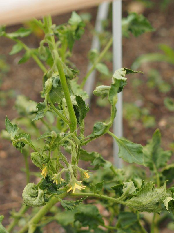 Tomato Plant Wilt Diseases   Cromalinsupport