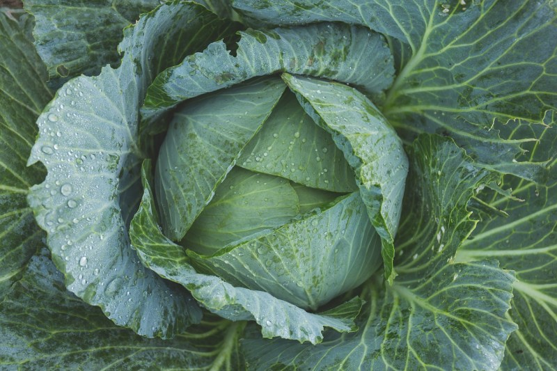 winter vegetable garden, winter vegetables, growing winter vegetables, cabbage, grow cabbage in winter, cabbages