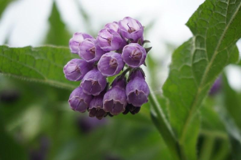 medicinal flowers, flower medicine, herbalism, comfrey, Symphytum officinale