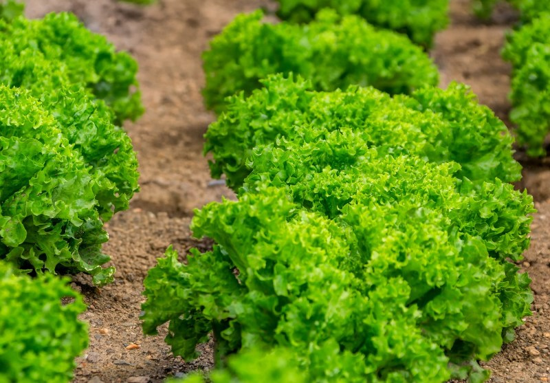 growing lettuce, lettuce types, summer crisp lettuce, frilled lettuce, growing lettuce in your garden, lettuce