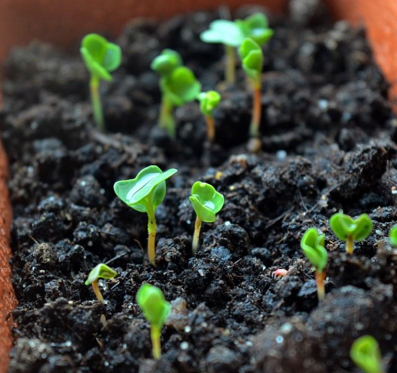 sunflower microgreens, sunflower sprouts, growing sunflower microgreens, how to grow sunflower microgreens