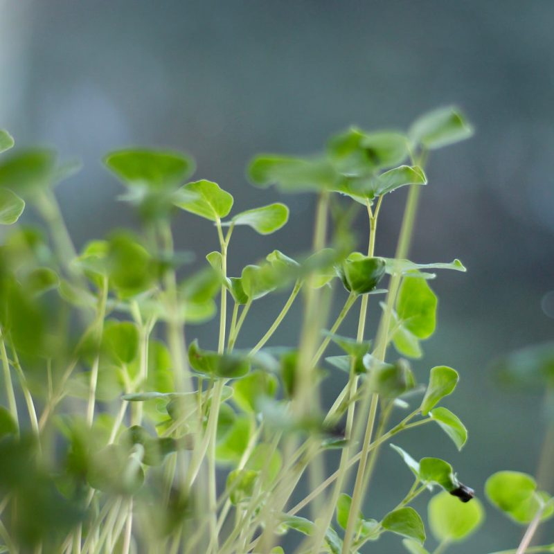 sunflower microgreens, how to grow sunflower microgreens, how to grow sunflower sprouts, sunflower sprouts