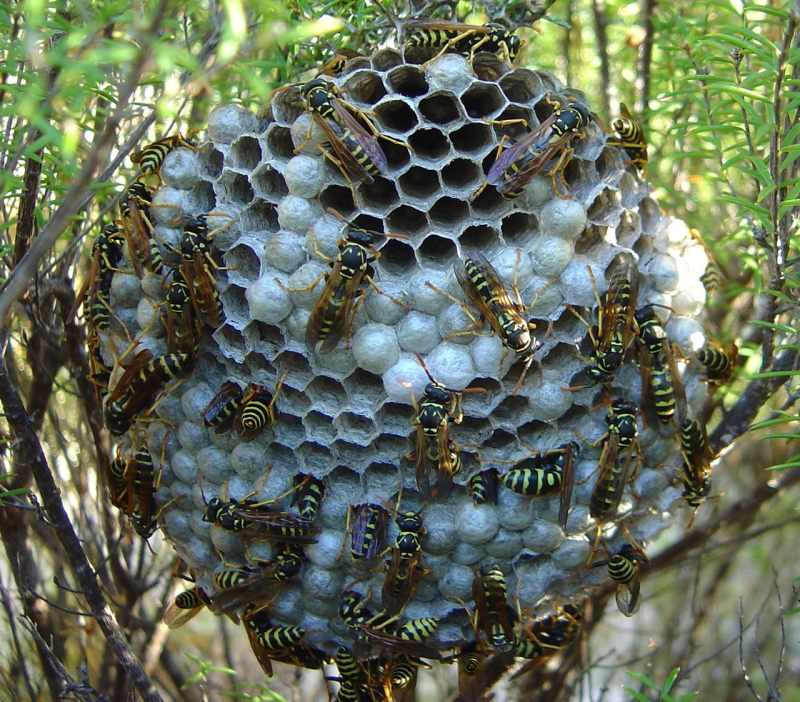 paper wasp, paper wasps, paper wasp nest, wasps, pest control, unwanted insects, get rid of paper wasps