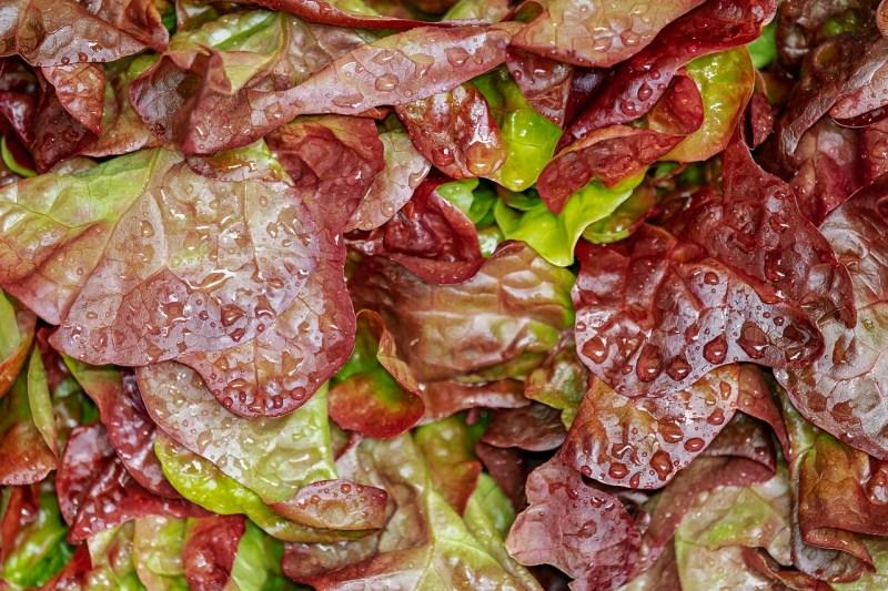 growing lettuce, lettuce varieties, loose-leaf lettuce, red loose-leaf lettuce
