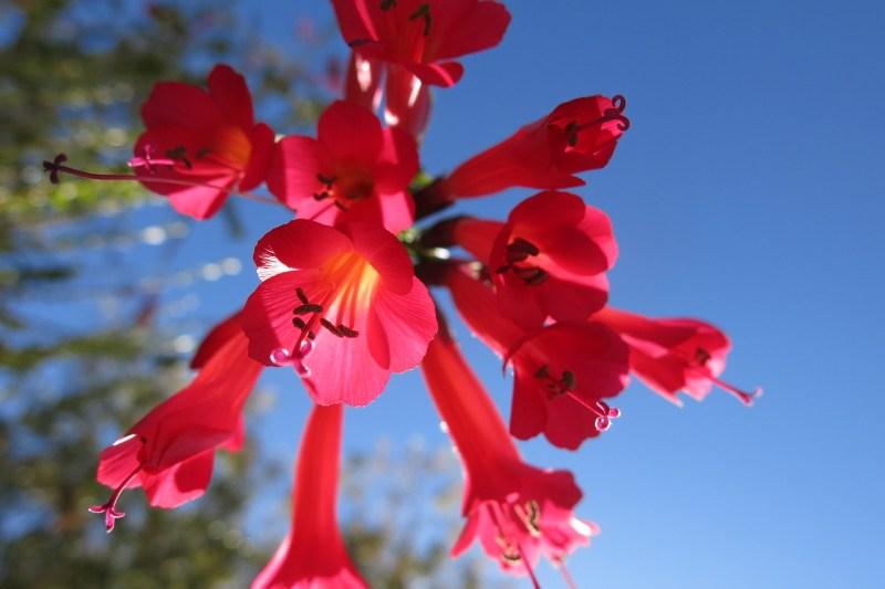 Cantua flower